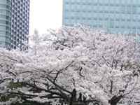 桜シーズン到来
