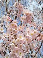 桜 追っかけ隊